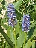 *6 Pflanzen Hechtkraut Pontederia Cordata Teichpflanze Wasserpflanze bis 30cm Wasserstand, Dauerblüher aus Naturteich