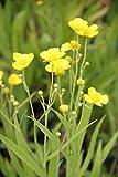 4er-Set im Gratis-Pflanzkorb - Ranunculus lingua - winterhart - Sumpfhahnenfuß - Zungenhahnenfuß, gelb - Wasserpflanzen Wolff