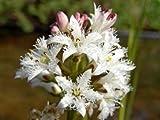 ZAC Wagner Fieberklee (Menyanthes trifoliata) Teichpflanze Teichpflanzen Teich