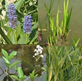*großes Teichpflanzen Komplettset -7- mit Wasserschwaden, Quellmoos,Kalmus,Fieberklee, Hechtkraut aus Naturteichen, tolle Ware, nie Wieder Algenprobleme