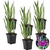 Japanische Sumpf-Schwertlilie   Iris 'Kaempferi' 6x - Teichpflanze im Gärtnertopf ⌀9 cm - ↕15 cm