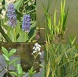 *Teichpflanzen Set Mini Teich mit Wasserschwaden, Kalmus, Fieberklee und Hechtkraut aus Naturteichen, tolle Ware, nie Wieder Algenprobleme