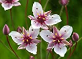 WFW wasserflora Schwanenblume - Blumenbinse/Butomus Umballatus im 9x9 cm Topf