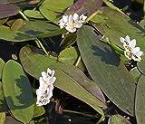 Wasserpflanzen Wolff - Aponogeton distachyos - Afrikanische- Zweireihige Wasserähre Schwimmblattpflanze, weiß