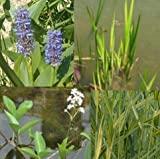 *Teichpflanzen Komplettset -6- für den kleinen Teich mit Wasserschwaden, Kalmus, Fieberklee und Hechtkraut aus Naturteichen, tolle Ware, nie Wieder Algenprobleme
