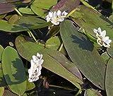 2er-Set - Aponogeton distachyos - Afrikanische-Zweireihige - Wasserähre - Schwimmblattpflanze, weiß - Wasserpflanzen Wolff