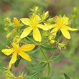 Johanniskraut - Bienenweide - Heilpflanze des Jahres 2019 - Hypericum perforatum - Zier-/Arzneiplanze - 1000 Samen