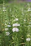 Wasserpflanzen Wolff - Preslia cervina 'Alba' - Mentha cervina - Wasserminze, weiß