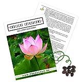 Lotus Samen winterhart (Nelumbo nucifera) - Indische Lotusblume Samen mit majestätischen Blüten zum selber ziehen für Aquarium, Teich & Garten