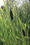 *4er-Set im Gratis-Pflanzkorb - Typha latifolia - Breitblättriger Rohrkolben - Wasserpflanzen Wolff