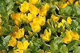2er-Set - winterhart! - Lysimachia nummularia - Pfennigkraut - Pfennig-Gilbweiderich - Münzkraut, gelb - Wasserpflanzen Wolff