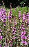 4er-Set im Gratis-Pflanzkorb - Lythrum salicaria - Blutweiderich - Rutenweiderich, rot - Wasserpflanzen Wolff