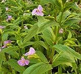 WFW wasserflora Blau - Violette Gauklerblume/Mimulus Ringens im 9x9 cm Topf
