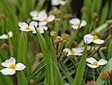 WFW wasserflora Gewöhnlicher Igelschlauch, Hellrosa/Baldellia ranunculoides im 9x9 cm Topf