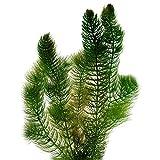 VDVELDE Hornblatt Hornkraut - 6 Stück - Winterharte Klärpflanze - Ceratophyllum demersum - Sauerstoffpflanzen für den Teich - Wasserreinigende Teichpflanzen - VDVELDE WASSERPFLANZEN