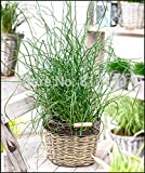 New Arrival Home Garden Pflanze 5Samen Flatter-Binse drehwurz Korkenzieher Rush Samen