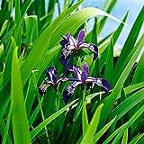 Iris Versicolor | Amerikanische Schwertlilie | Lieferhöhe 20-25cm | Topf-Ø 9cm