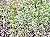 SCHILFROHR - Phragmites australis - Winterharte Wasserpflanze für Ihren Teich - H2O-Pflanze