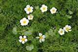 *4er-Set im Gratis-Pflanzkorb - Klärpflanze! - Ranunculus aquatilis - Wasserhahnenfuß, weiß- Wasserpflanzen Wolff