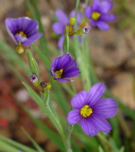 Zwerg-Sumpf-Iris