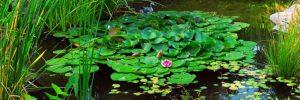 Seerosen richtig pflanzen