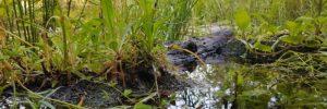Sumpfzone im Gartenteich anlegen