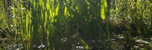 Teichpflanzen Sumpfzone