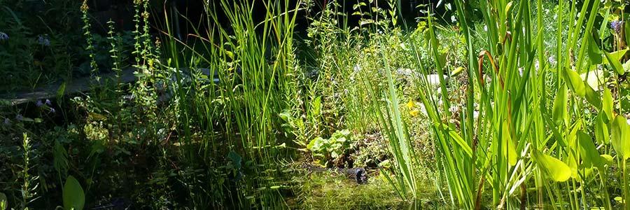 Teichpflanzen für die Ufer- und Feuchtzone
