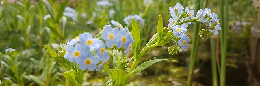 Lieblings Teichpflanzen für die Uferzone und Feuchtzone im Gartenteich @LN_15