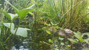 Sumpfzone im Molchteich
