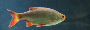 Biotopfische - Einheimische Teichfische