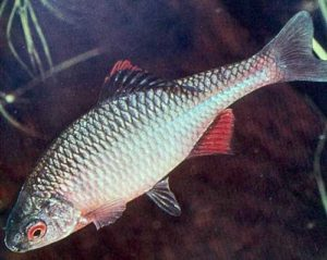 Bitterling - Biotopfisch