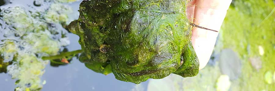 Fadenalgen im Teich - Fadenalgen entfernen
