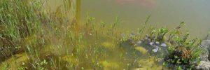 Schwebealgen - Grünes Wasser im Teich