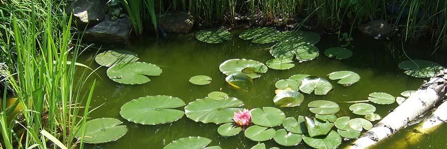 Schwimmblattpflanzen