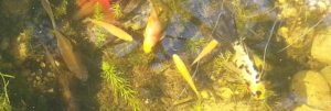 Teichfische - Haltung und Pflege im Teich