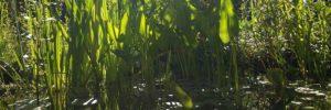 Teichpflanzen bis -20 cm Wasserstand - Teichpflanzen-Ratgeber