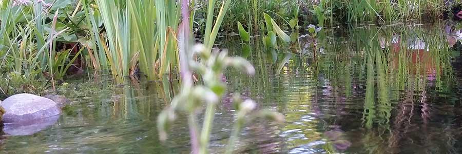 Teichpflanzen für einen Wasserstand ab 30 cm