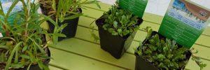 Teichpflanzen kaufen