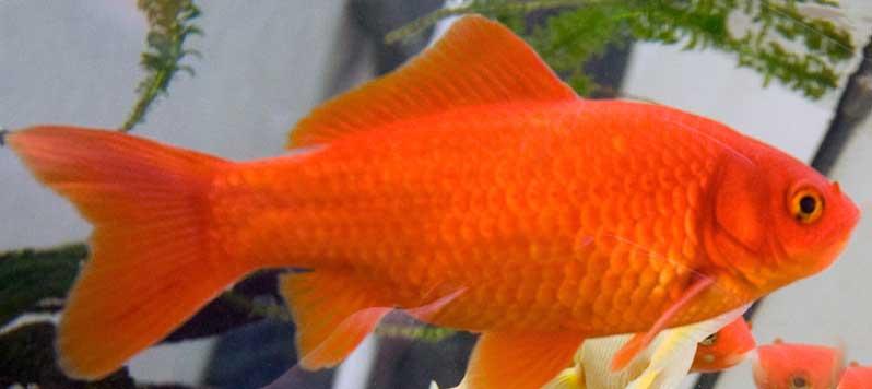 Goldfische im teich haltung und pflege teichratgeber for Goldfischteich pflege