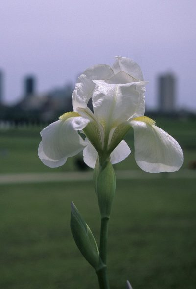 © Eric in SF, Iris albicans fort worth, CC BY-SA 3.0