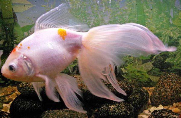 Schleierschwanz Goldfisch