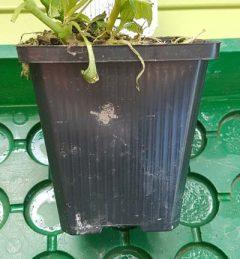 Teichpflanze im Pflanztopf