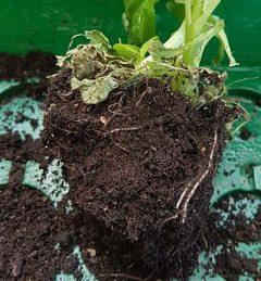 Teichpflanze Wurzelballen