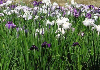Japanische Iris