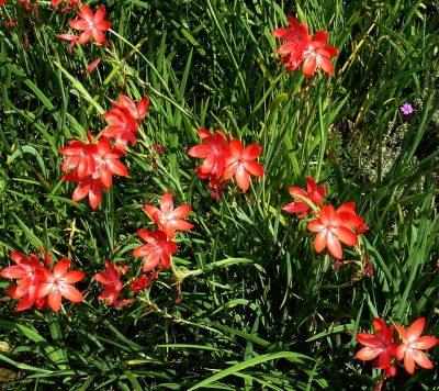 Schizostylis coccinea Spaltgriffel Teichpflanze Teichpflanzen Teich